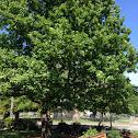 English oak?