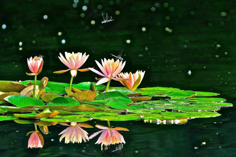 Dragonflies & Waterlilies by Roy Walter - Flowers Flower Gardens ( water, nature, waterlilies, flower, dragonflies,  )
