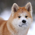 The Akita Dog Live Wallpaper logo