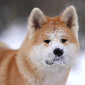 The Akita Dog Live Wallpaper