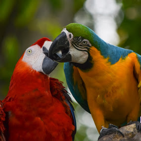 Macaw in love by Deven Dadbhawala - Animals Birds ( , colorful, mood factory, vibrant, happiness, January, moods, emotions, inspiration )