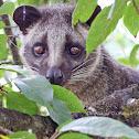 Himalayan Palm Civet