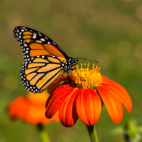2014-10-3 Monarch, Red Admiral, p. cosmos 078.JPG