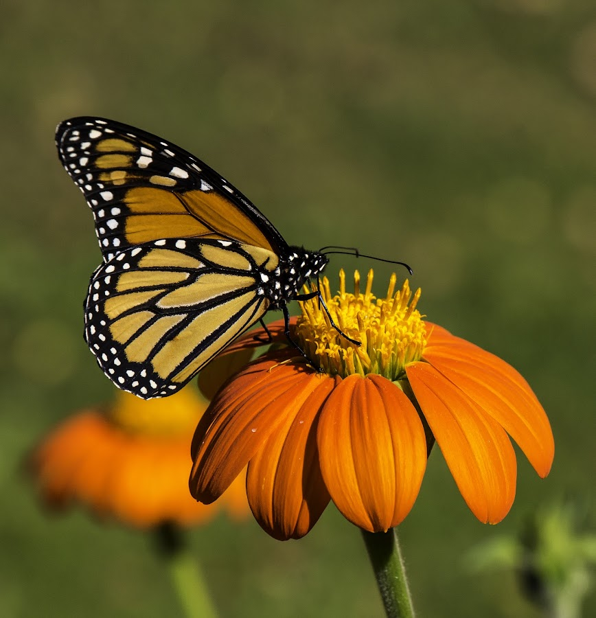 Mexican Monarch by Jeff Lebovitz - Animals Insects & Spiders ( butterfly, orange, monarch, insect, flowers, mexican sunflower )