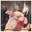 Juvenile Mediterranean House Gecko