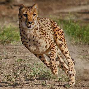 jbs.cheetah2.jpg