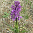 Green-winged Orchid / Salep,Kukovec