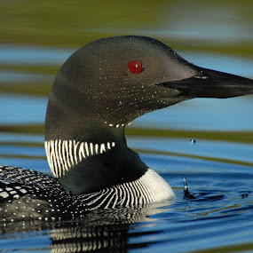 Common Loon by Linda Labbe - Animals Birds ( water, red-eye, duck, pond, swimming, loon )