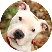 Pit bull wallpaper 2015