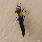 Footman moth - female