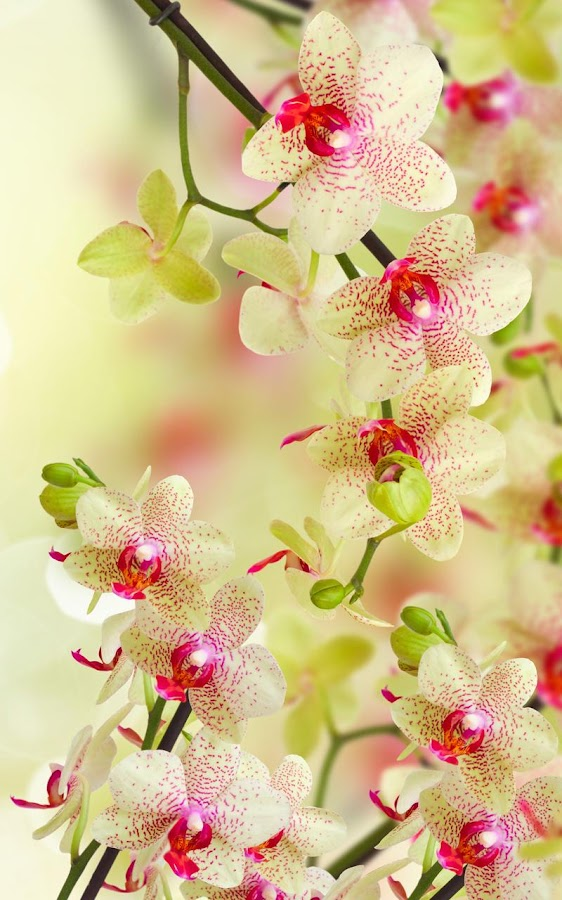 Images Of Beautiful Wallpaper Animated Orchid Calto