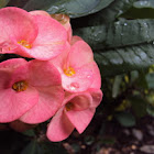 'Crown of Thorns'