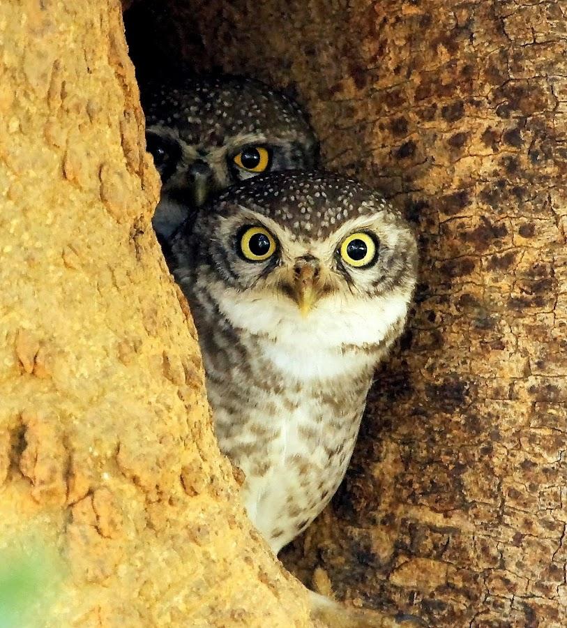 Eyes by S Balaji - Animals Birds ( spotted owlets, wild, animals, nature, birds, owls, spotted owl )