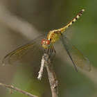 Band-winged Dragonlet (female)