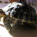 Tortuga mora / Tortoise