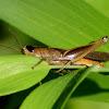 Brown Winter Grasshopper