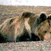 Tibetan bear