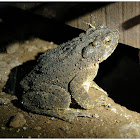 Asian Giant Toad/ River Toad