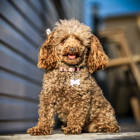 ZOE by Eugene Ball - Animals - Dogs Portraits ( canine, adorable, puppy, dog, zoe )