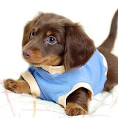 Dachshunds Wallpapers