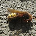 European hornet / Stršljen