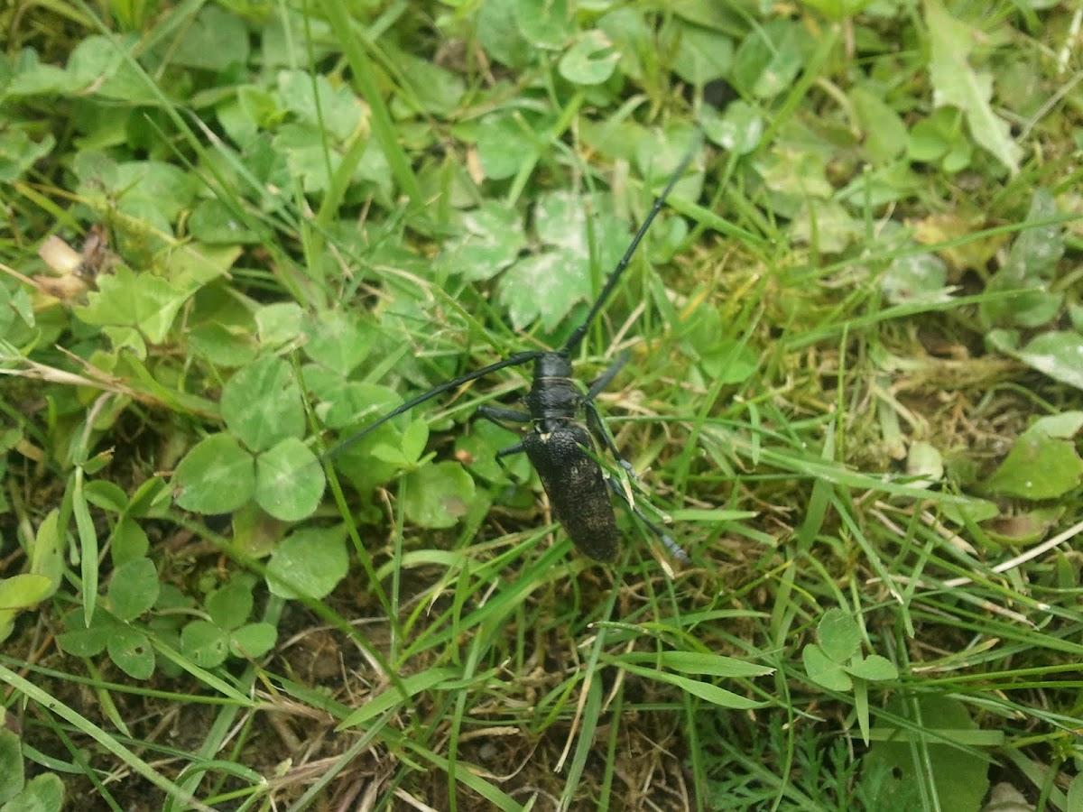 Kleine Eichenbock - capricorn beetle