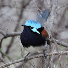 Red-winged Fairy Wren