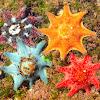 Cushion Sea Star