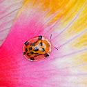 Orange Tortoise Beetle