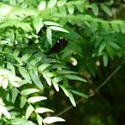 Ebony Jewelwing damselflies (mating pair)