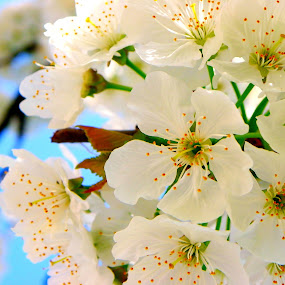 Cherry Flower by Magdalena Dedić - Flowers Tree Blossoms ( flower cherry tree nature spring )