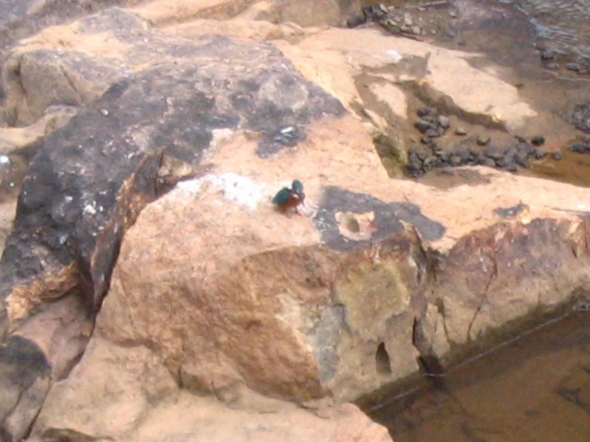 Common Kingfisher,  Eurasian Kingfisher or River Kingfisher