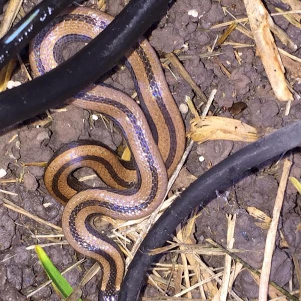 Black Gold Striped Snake