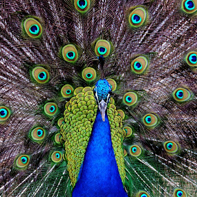 The Glorious Peacock by Cathy Hood - Animals Birds