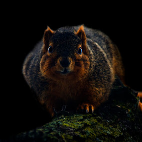 Focused by Brent Sharp - Animals Other Mammals ( brent sharp, dark background, mammal, squirrel, animal,  )
