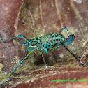 nymph of ornate katydid