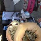 Ground dwelling dove_Rolita
