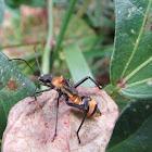Ant mimicking bug