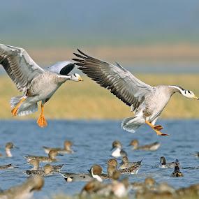 by Sudhir Nambiar - Uncategorized All Uncategorized ( , bird, fly, flight )