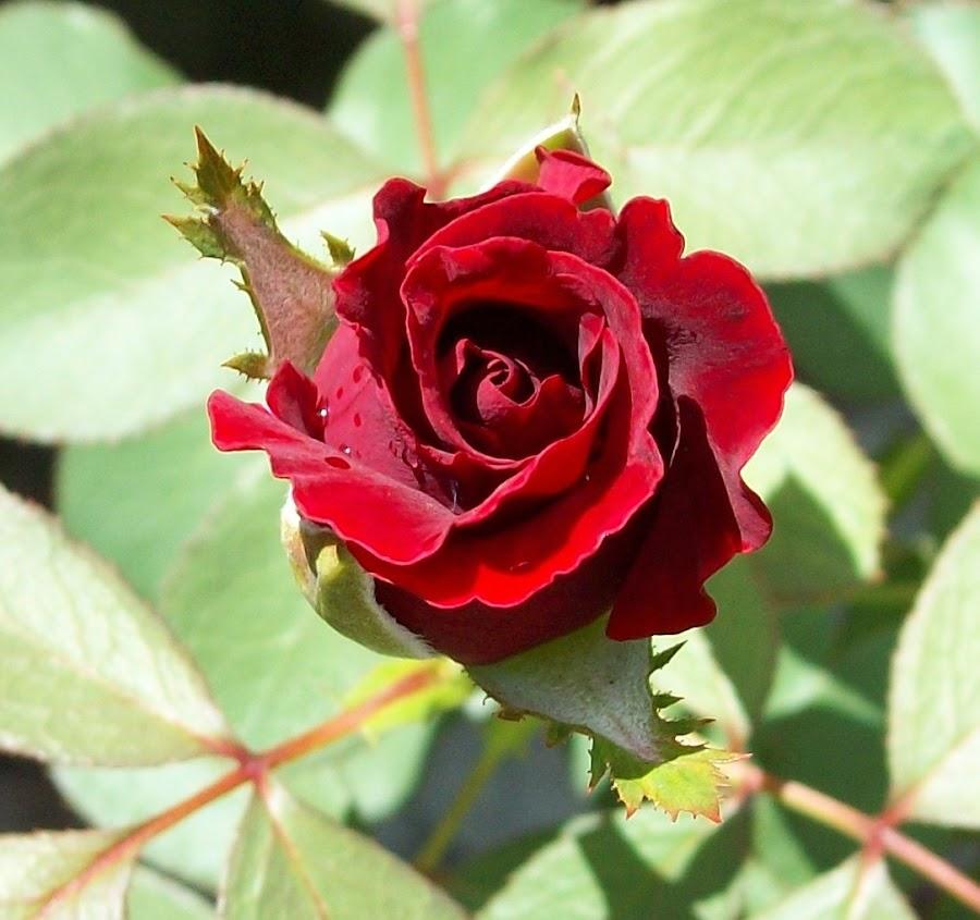 Don Juan Rose Bud just in bloom by Cindy Brown - Flowers Flower Buds (  )