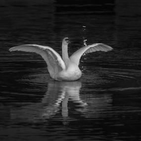 Swan by Johannes Mikkelsen - Black & White Animals ( water, waterscape, art, white, reflections, seascape, tamron, norway, bird, flying, halden, d800, artistic, swan, norge, nikon, black, animal )