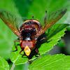 Hornet mimic hoverfly, Mosca de las flores