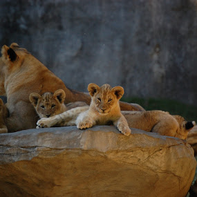 Lion cub by Angel Harvey - Novices Only Wildlife ( lion, animals, zoo, bigcats, cub,  )