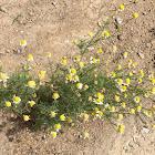 Mayweed  or Dog-fennel