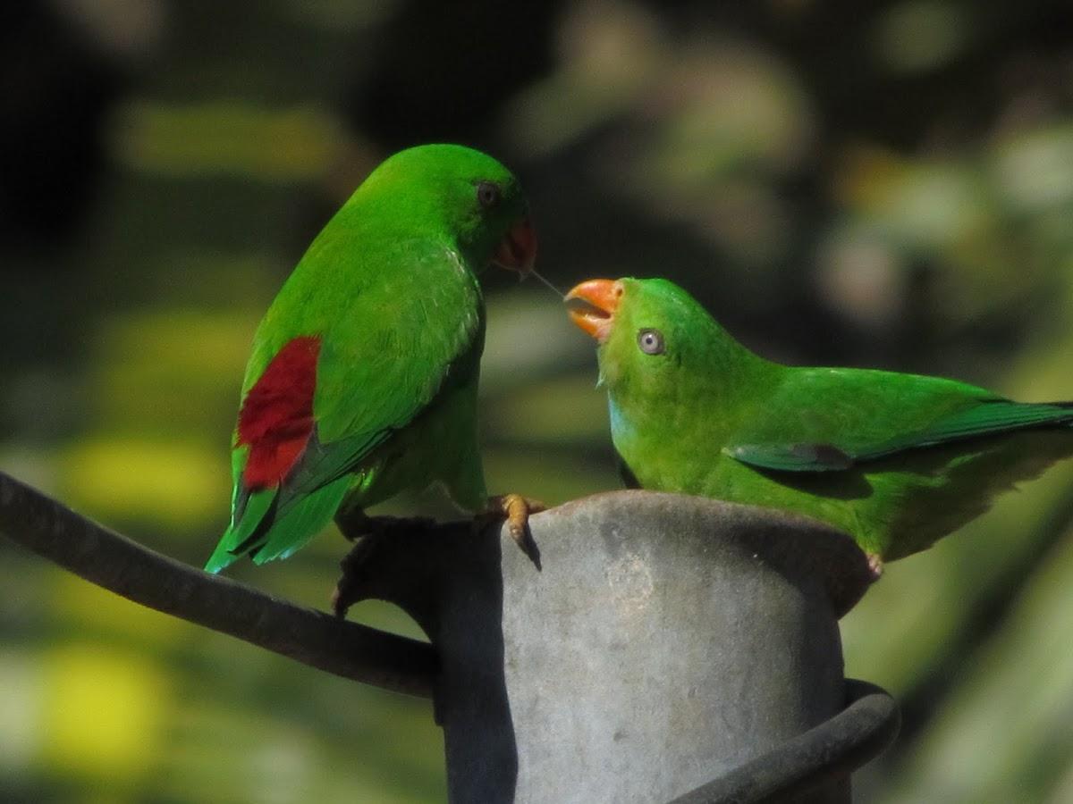 Indian Hanging Parrot