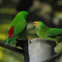 Indian Hanging Parrot