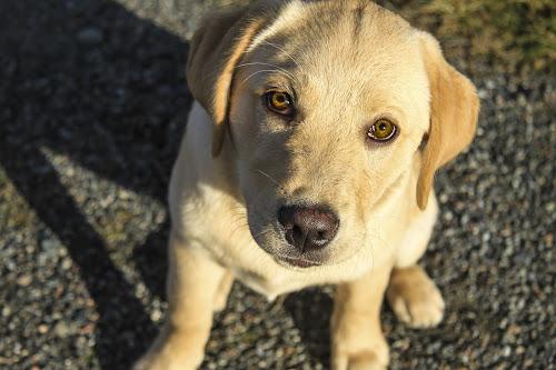 I'm a Good Dog by Eugene Ball - Animals - Dogs Portraits ( canine, puppy, dog, labrador, lab,  )