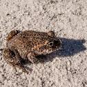 Eastern Banjo Frog, Pobblebonk