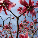 Magnolia (Red/Pink)