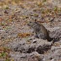 Blick's Grass Rat